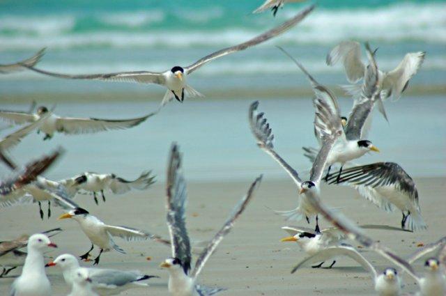 image crested-terns-take-off-jpg