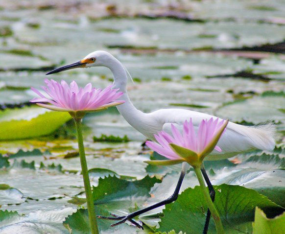 image little-egret-on-water-lilies-10-jpg