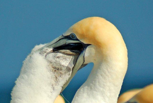 image gannet-feed-large-chick-seq-iv-jpg
