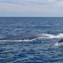 image blue-whale-dolphin-jpg