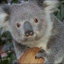 image koala-jpg